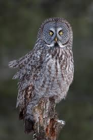 great grey owl on tree stump in winter stock photo image 83268610