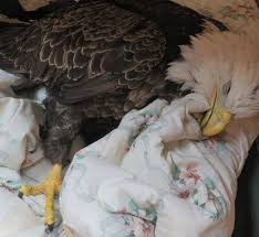 bald eagle suffering from lead poisoning starvation and a