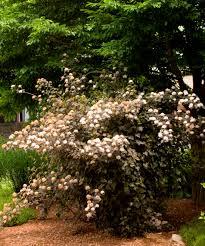 Flowering Privacy Shrubs - diabolo ninebark monrovia diabolo ninebark