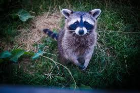 brown and black raccoon photo free stock photo