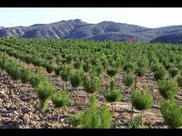 raising christmas trees how a family run christmas tree farm