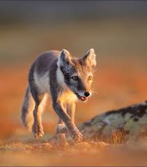 Fox Light 775 Best Foxes Images On Pinterest Wild Animals Animals And Red Fox