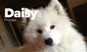 samoyed x australian shepherd the samoyed pack photos of samoyeds