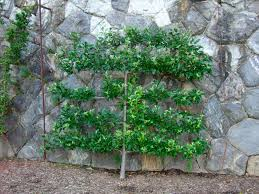 grow dwarf fruit trees against a wall gardening ideas