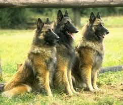 belgian shepherd dog temperament belgian tervuren one of four varieties of belgian shepherd dogs