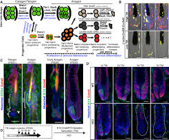 Stem Cells Hair Loss Gata6 Promotes Hair Follicle Progenitor Cell Renewal By Genome