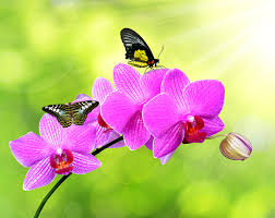 butterflies roses orchid flowers