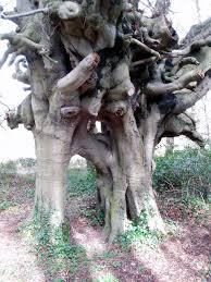 file wesley s beech trees lambeg co geograph org uk