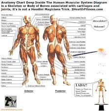 The Human Anatomy Muscles Anatomy Muscle Body Anatomy Chart Deep Inside The Human Muscular
