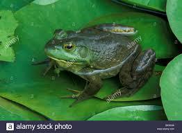 bullfrog rana catesbiana on water lily pad e usa stock photo