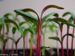one plant three seasons beta vulgaris cicla group hayefield