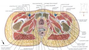 Human Anatomy Torso Diagram Diagrams Archives Page 3 Of 55 Human Anatomy Charts