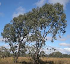 file eucalyptus coolabah trees jpg wikimedia commons