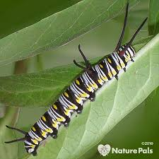identify caterpillars by pictures and where do caterpillars live