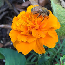 Bee Deterrent For Patio Will Marigolds Keep Bees Away U2013 Facts About Planting Marigolds To