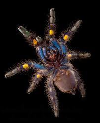 gooty sapphire ornamental tree spider habitat southeastern india