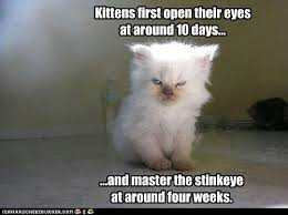 Bad Kitty Meme - 139 best bad kitty images on pinterest funny animals funny