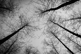 black trees in forest domain free photos for