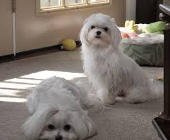 hannah and lizzie xx maltese puppies pinterest we