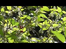 growing the mulberry tree tree shaping and trimming for
