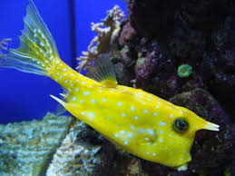 longhorn cowfish wikipedia