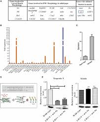 overexpression of mirna 9 generates muscle hypercontraction