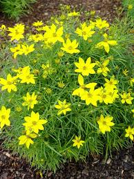 Plant Flower Garden - best 25 yellow perennials ideas only on pinterest black eyed