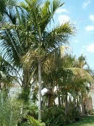 23 u2013 alexander palm tree u2013 palms of the dougherty garden u2013 palms
