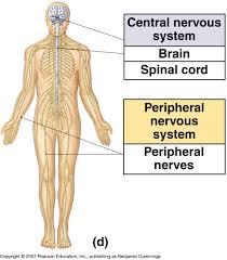 the central nervous system science u2014 tiaras u0026 tantrums