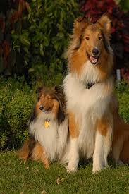 belgian sheepdog size and weight shetland sheepdog wikipedia