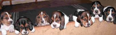 bassett black friday sale puppies from basset hound breeders in south africa