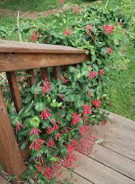 plants native to alabama plant of the week native honeysuckle lonicera sempervirens