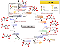 file citric acid cycle with aconitate 2 svg wikipedia