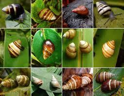 hawaiian tree snail conservation lab