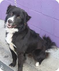 australian shepherd male names bosco adopted dog san pedro ca border collie australian