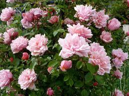 albertine climbing rambling rose