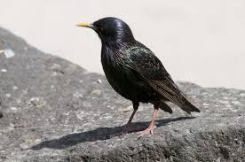 common starling new zealand birds online