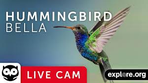 live cam hummingbirds