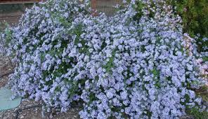 five great asters for the fall bee garden the bee gardener anr