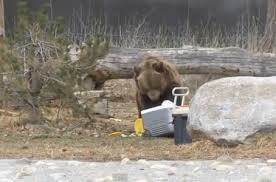 Bears Montana Hunting And Fishing - grizzly bears tears apart a csite montana hunting and fishing