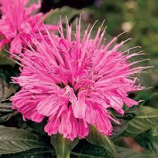 55 best monarda images on pinterest garden plants beautiful