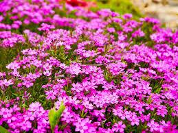 Phlox Flower Free Photo Phlox Flower Garden Flower Free Image On Pixabay