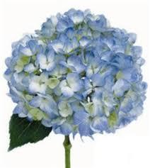 hydrangea flowers online wholesale bulk cut blue hydrangea