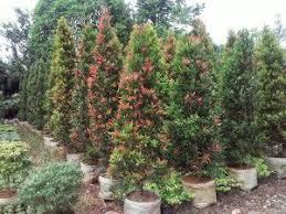 Teh Tehan jual pohon pagar teh tehan murah tukangtamanasri