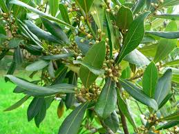 Fruit Tree Identification - tree identification laurus nobilis grecian laurel