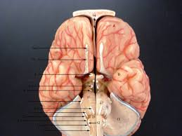 What Is Human Anatomy And Physiology Brain Cranial N Label Jpg 3 072 2 304 Pixels Anatomy Physiology