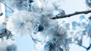 white and blue flowers white wallpaper with blue flowers 9 cool hd wallpaper