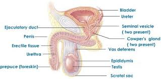 The Anatomy Of The Male Reproductive System Male Reproductive System In Human Tutorvista Com