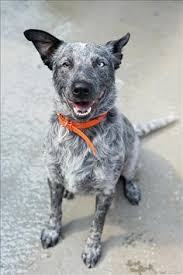 australian shepherd cattle dog mix italian greyhound australian shepherd mix