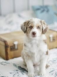 do american bulldogs shed a lot u2013 dog